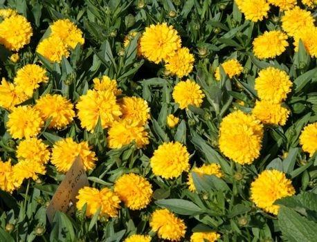 Żółte kwiaty ogrodowe byliny