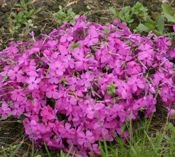 FLOKS SZYDLASTY MC DANIEL'S CUSHION PHLOX SUBULATA