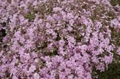 FLOKS SZYDLASTY CANDY STRIPES PHLOX SUBULATA 9