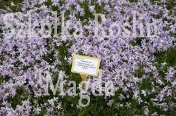 FLOKS SZYDLASTY EMERALD CUSHION BLUE PHLOX SUBULATA