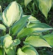 FUNKIA JUNE HOSTA 1l