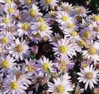ASTER AGERATOIDES STARDUST ASTER AGERATOIDES 9