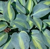 Funkia Grand Marquee Hosta 1l