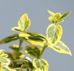 TRZMIELINA FORTUNEA EMERALD'N GOLD EUONYMUS FORTUNEI
