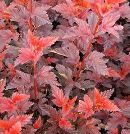 Physocarpus opulifolius schuch