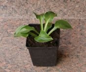 FUNKIA BLUE MOUSE EARS HOSTA 1l