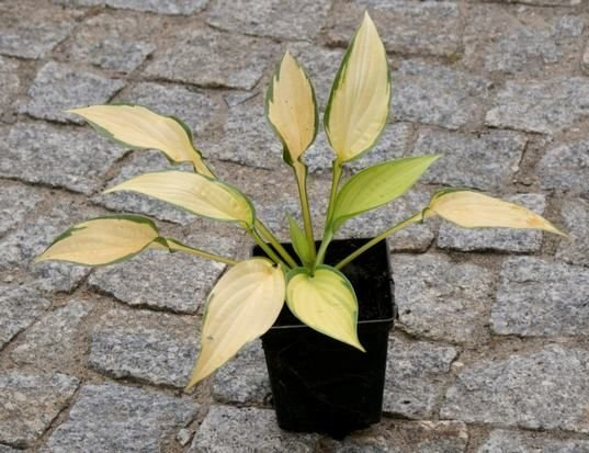 Funkia Orange Marmalade Hosta 1l