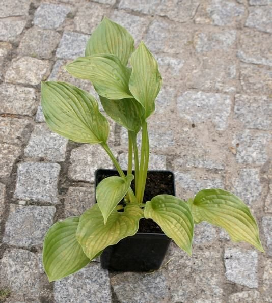 Funkia Sharmon Hosta 2l
