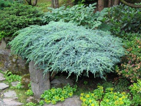 Ja owiec uskowaty blue carpet juniperus squamata 2 3l sklep internetowy szk ki magda - Juniperus squamata blue carpet ...