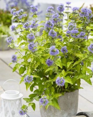 Barbula Hint of Gold  Caryopteris Clandonensis 2l