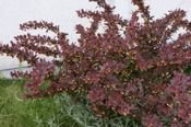 Berberys Thunberga Golden Ring Berberis Thunbergii 9-1l
