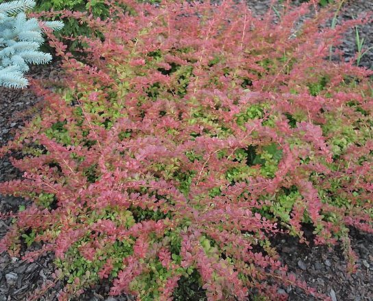 Berberys Thunberga Red Carpet Berberis Thunbergii 1l