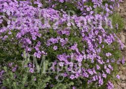 FLOKS SZYDLASTY PURPLE BEAUTY PHLOX SUBULATA 9