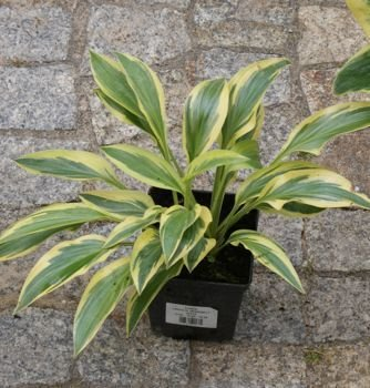FUNKIA LAKESIDE DRAGONFLY HOSTA 2l