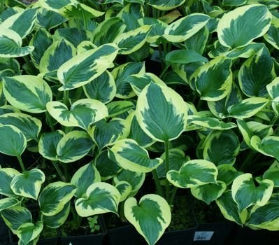 Funkia Twilight Hosta 1l