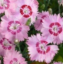 Goździk pierzasty Dixie Red Rose Bicolor Dianthus Plumarius 9