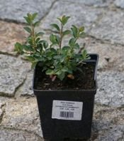 Irga dammera  Coral Beauty Cotoneaster Radicans Dammerii 1l