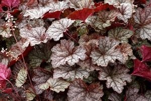 Żuraweczka Twilight Heucherella 9