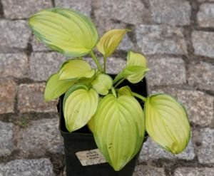 Funkia Stained Glass Hosta 2l