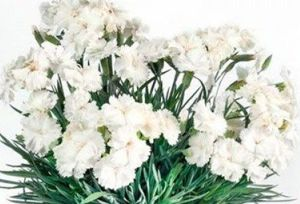Goździk pierzasty Angel of Purity Dianthus Plumarius 9