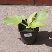 FUNKIA BLUE ANGEL HOSTA 2L