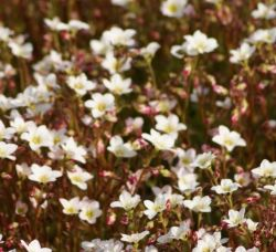 Skalnica Highlander White And Red Saxifraga Arendsii
