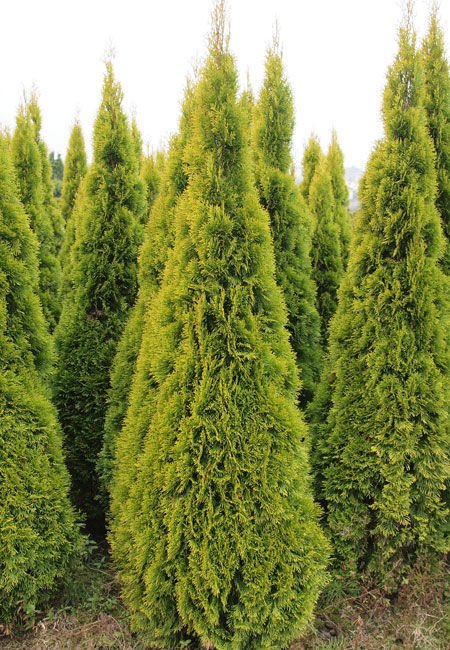 Żywotnik Zachodni Golden Smaragd  Thuja Occidentalis 1l