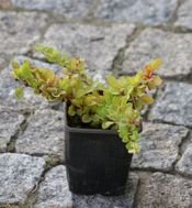 Berberys Thunberga Green Carpet  Berberis Thunbergii 1l