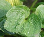 FUNKIA BIG DAADY HOSTA 1l