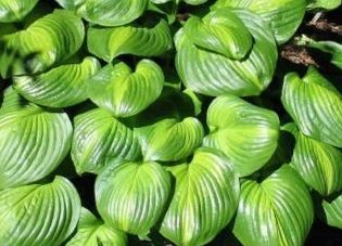 Funkia Avocado Hosta  2l