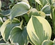 Funkia Fire & Ice Hosta 1l