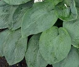 Funkia Ryan's Big One Hosta 2l