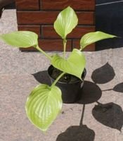 Funkia Sum Substance Hosta 2-3l