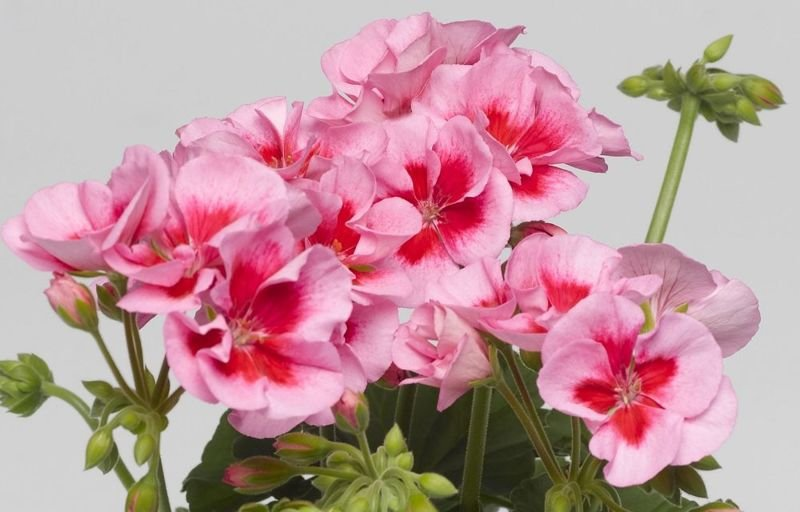 Pelargonia Calliope Rose Splash Pelargonium Hybrid