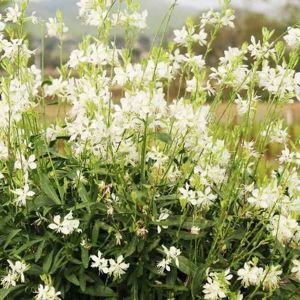 Gaura Graceful White Gaura lindheimeri 1l